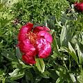 Paeonia peregrina, Bob Rutemoeller
