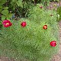 Paeonia tenuifolia, Jane McGary
