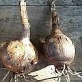 Pancratium canariense bulbs, Angelo Porcelli