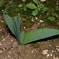 Pancratium illyricum, Angelo Porcelli