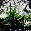 Pancratium illyricum, Hans Joschko