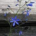 Pasithea caerulea, Mary Sue Ittner