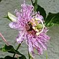 Passiflora incarnata, bumblebee pollinating, Martin Bohnet