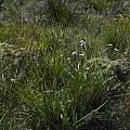 Patersonia sp. William Bay, Mary Sue Ittner