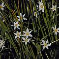 Pauridia aquatica, Mary Sue Ittner