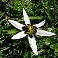 Pauridia capensis, Napier, Cameron McMaster