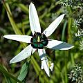 Pauridia capensis, Tulbagh, Mary Sue Ittner