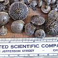Pauridia capensis corms, Mary Sue Ittner