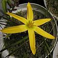Pauridia capensis, Bob Rutemoeller