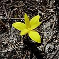 Pauridia monophylla, Napier, Cameron McMaster