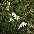 Pauridia serrata ssp. albiflora, Nieuwoudtville, Bob Rutemoeller