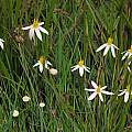 Pauridia serrata ssp. albiflora, Nieuwoudtville, Mary Sue Ittner