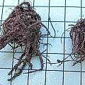 Pauridia serrata corms, Mary Sue Ittner