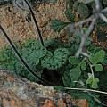 Pelargonium barklyi, Namaqua National Park, Bob Rutemoeller