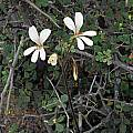 Pelargonium barklyi, Namaqua National Park, Mary Sue Ittner