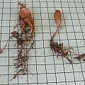 Pelargonium barklyi, tuber, Mary Sue Ittner