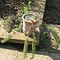 Pelargonium bowkeri, David Victor