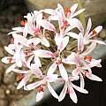Pelargonium bubonifolium, David Victor