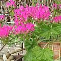 Pelargonium incrassatum, David Victor