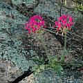 Pelargonium incrassatum, Bob Rutemoeller