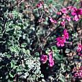 Pelargonium magenteum, Mary Sue Ittner