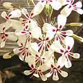 Pelargonium moniliforme, David Victor