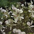 Pelargonium oblongatum, Bob Rutemoeller