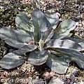 Pelargonium ochloleucum leaves, Jan and Anne Lise Schutte-Vlok