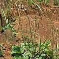 Pelargonium pulverulentum, Maclear, Cameron McMaster