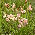 Pelargonium radulifolium, Jan and Anne Lise Schutte-Vlok