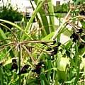 Pelargonium sidoides, Lee Poulsen