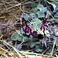 Pelargonium sidoides, Susan Hayek