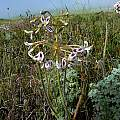 Pelargonium triste, Darling, Cameron McMaster