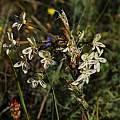 Pelargonium triste, Darling, Mary Sue Ittner