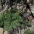 Pelargonium triste, Lion's Head, Bob Rutemoeller