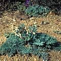 Pelargonium triste, Mary Sue Ittner