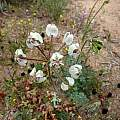 Pelargonium triste, Namaqualand, Cameron McMaster