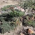 Pelargonium triste, Bob Rutemoeller