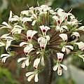 Pelargonium vinaceum, David Victor