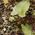 Pinellia cordata green, Giorgio Pozzi