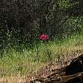 Placea amoena plant, Eugene Zielinski