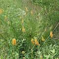 Platanthera ciliaris, Alani Davis