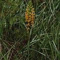 Platanthera cristata, Alani Davis