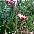 Polianthes ×bundrantii, Lee Poulsen