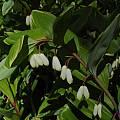 Polygonatum odoratum 'Variegatum', Jay Yourch