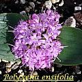 Polyxena ensifolia, Bill Dijk