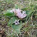 Polyxena ensifolia, Rogan Roth
