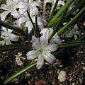 Polyxena longituba flowers from second year, Bob Rutemoeller