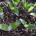 Polyxena/Lachenalia maughanii, Mary Sue Ittner