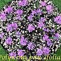 Polyxena paucifolia, Bill Dijk